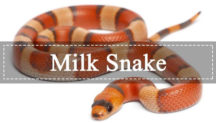 Serpiente de Leche: La Guía Perfecta te Ayuda a Conocerlos