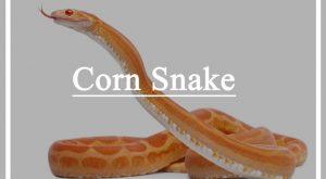 Primer plano de una serpiente de maíz en el fondo blanco