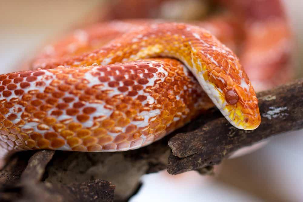 Serpiente de Maíz: Datos Divertidos Nunca Sabías