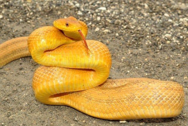 6 Datos Básicos de la Serpiente de la Rata, 5 Especies Comunes y 5 Hechos más que no Sabías