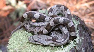 Primer plano de una serpiente de rata