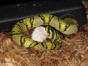 Una serpiente está comiendo una rata