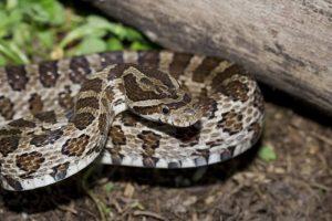 Serpiente de cascabel negra en la hierba