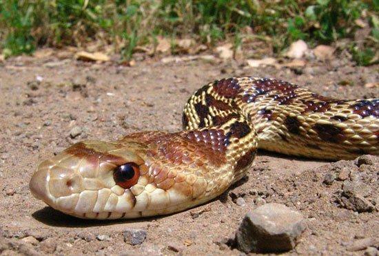 Impactantes Hechos de Serpiente Gopher Nunca Sabías