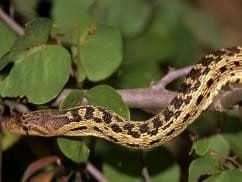 Gopher serpiente escalar en árbol