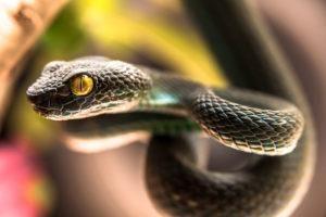 Primer plano de la serpiente viper pit verde