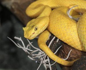 Serpiente víbora de pestañas colgando en un árbol