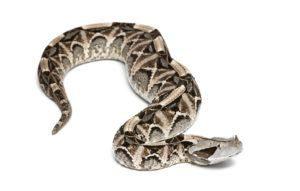 Gaboon víbora serpiente acostado en fondo blanco