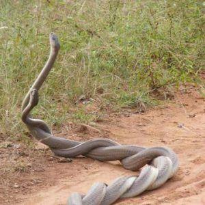 Dos serpientes están teniendo sexo duro