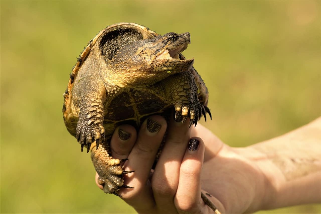 7 Cosas Interesantes sobre Tortugas de Cocodrilo