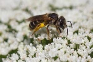 Una abeja sudorosa en flores blancas.