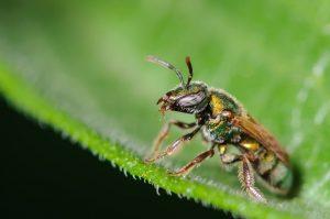Solitario sudor abeja en una hoja verde.