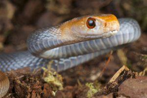 Primer plano de la cabeza de una serpiente taipan