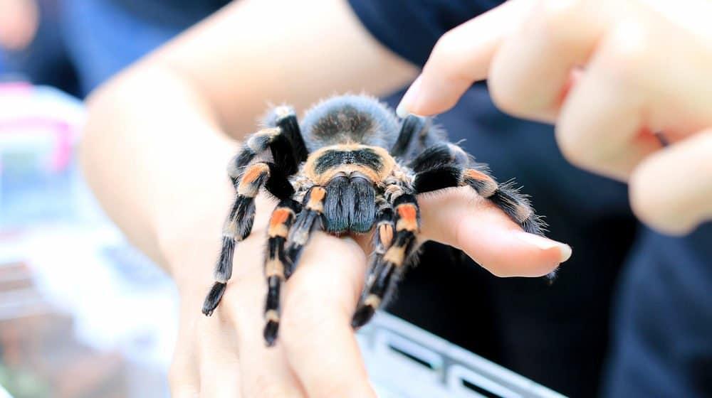 Guía de Principiantes para el Mantenimiento de Arañas - PlagasWIKI