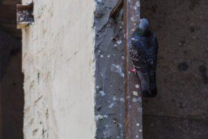 Daños de paloma en el techo