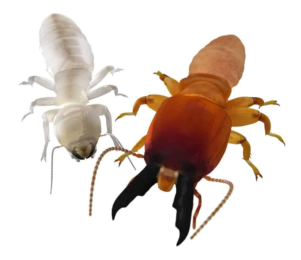 Dos grandes soldados de termitas