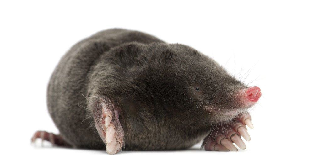 5 Remedios para el Hogar para Deshacerse de Topos