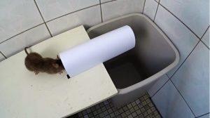 Usando la trampa de la tapa oscilante para atrapar ratas