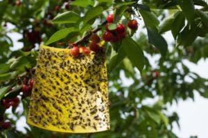 Papel de mosca pegajoso amarillo con muchas moscas atrapadas en él colgando de un cerezo