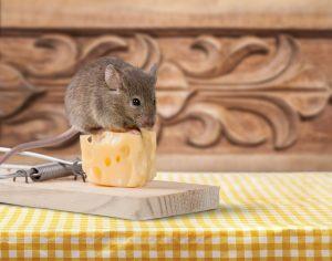 Una rata está de pie en la parte superior del queso