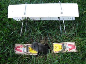 Un Ratón De Campo es atrapado por la trampa en el suelo