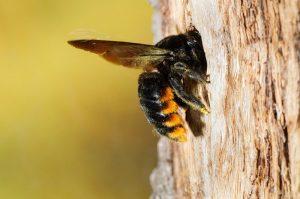 trampa de abeja carpintera