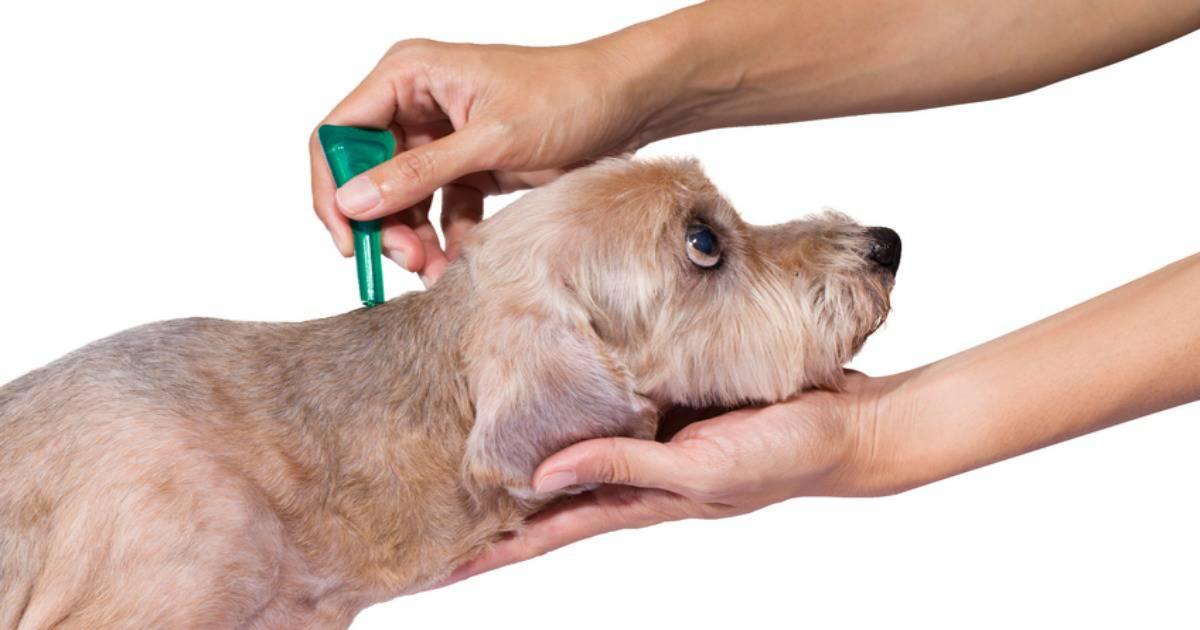 síntomas de perros y garrapatas
