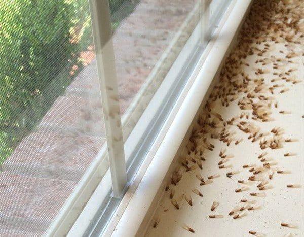 Daños de termitas en las ventanas