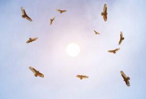 Buitres turcos que se elevan y observan el suelo