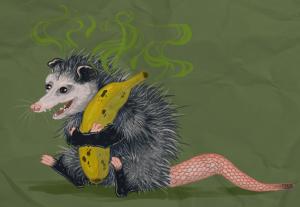 Zarigüeya maloliente sosteniendo un plátano